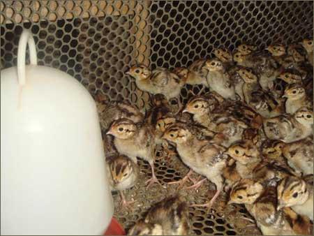 肉鸡各阶段饲料配方
