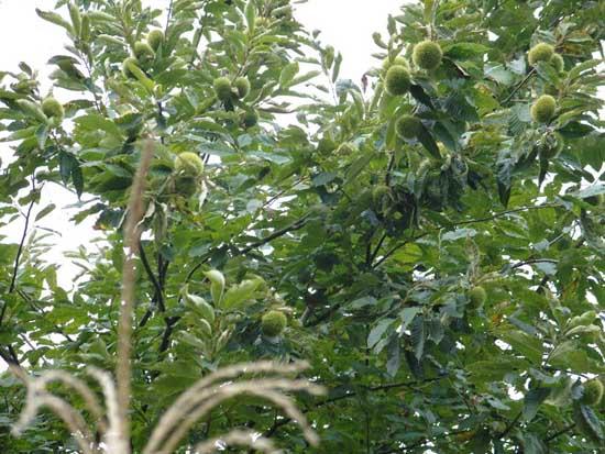 板栗的种植技术