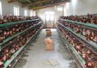 鸡舍带鸡消毒方法