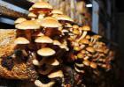 滑子菇高产栽培技术