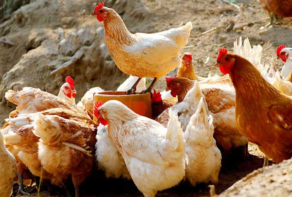 鸡结核病的防治措施