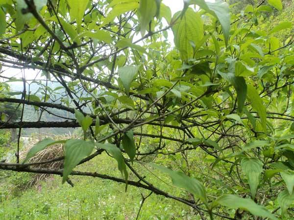 山茱萸繁殖方法