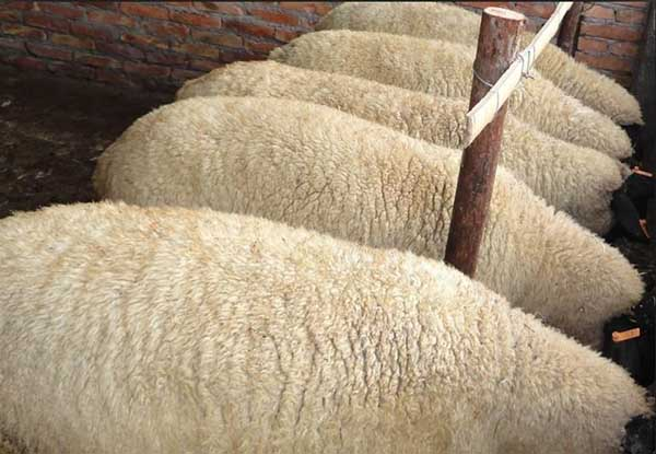 羊口疮的防治方法