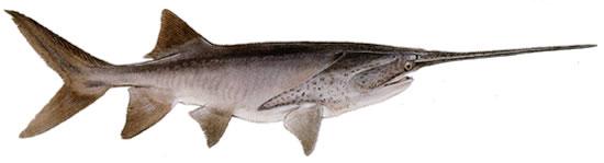 匙吻鲟夏花与大规格鱼种培育