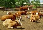 牛瘤胃积食防治方法