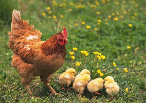 蛋鸡各阶段饲料配方