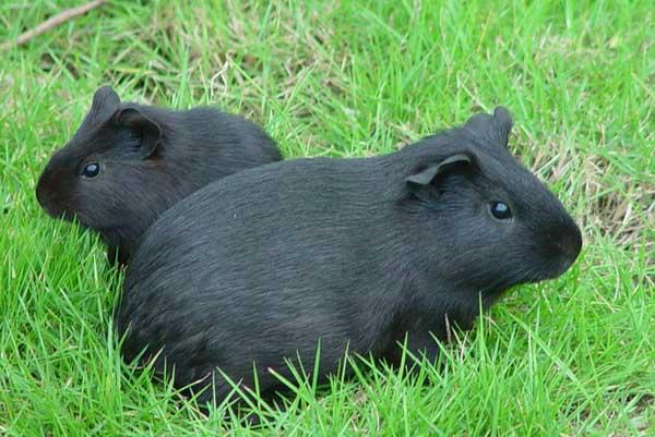 逆毛绒豚的人工养殖技术