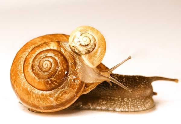白玉蜗牛水和饲料选择