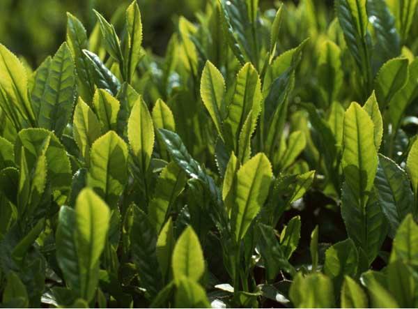 无公害茶叶加工技术