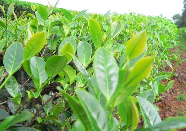 提高茶苗移栽成活率的办法