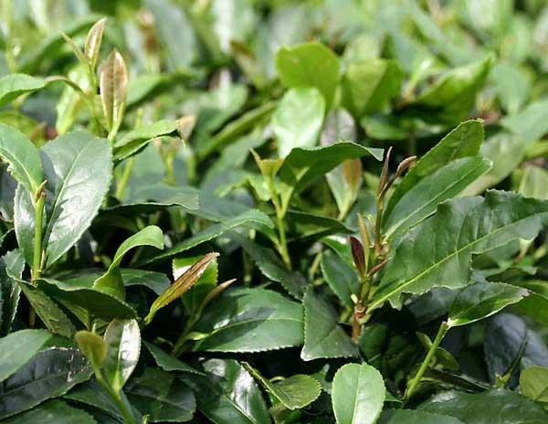 茶园抗旱保苗的应对措施