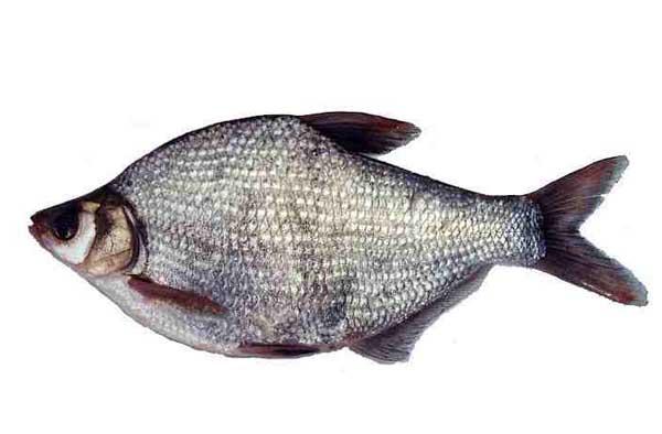 武昌鱼的养殖技术
