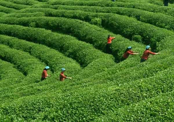 夏季如何做好茶园管理?