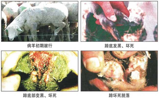 羊腐蹄病的防治方法