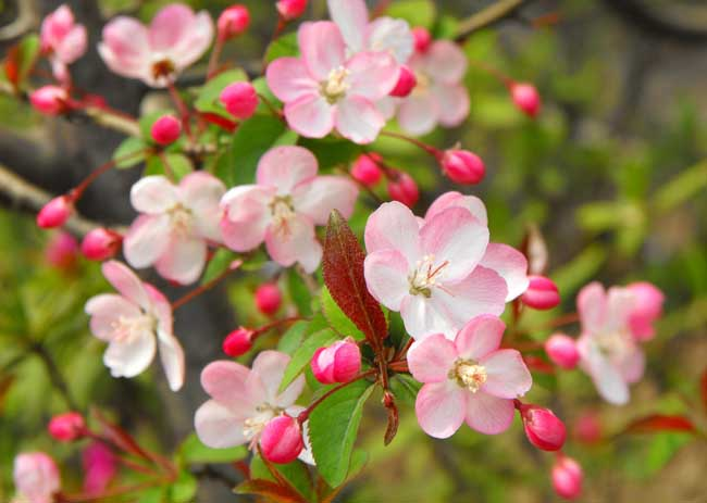 海棠花的花语是什么?