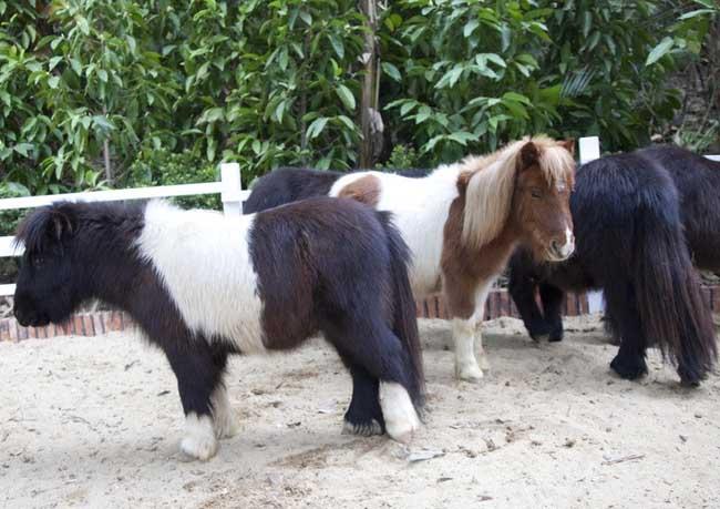 美洲矮种马