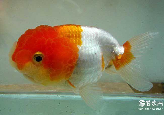 鹅头红金鱼图片