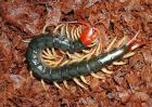 世界上最大的蜈蚣体长可达62厘米