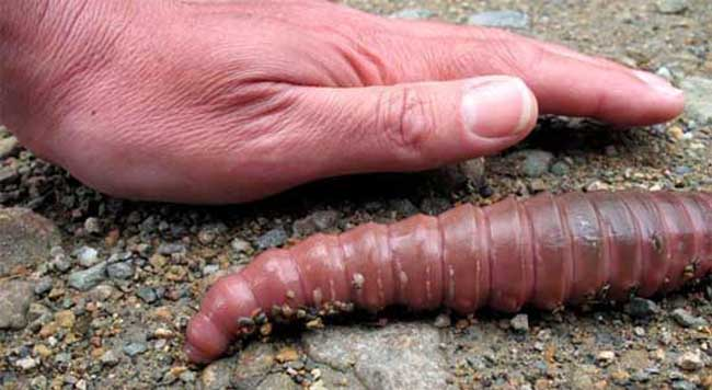 蚯蚓的形态结构