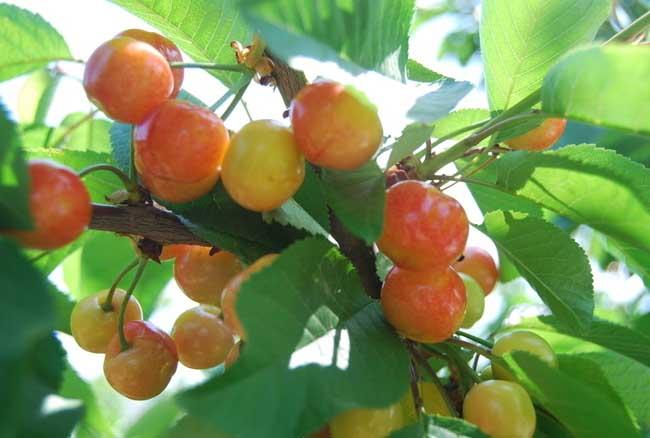 樱桃树几年结果