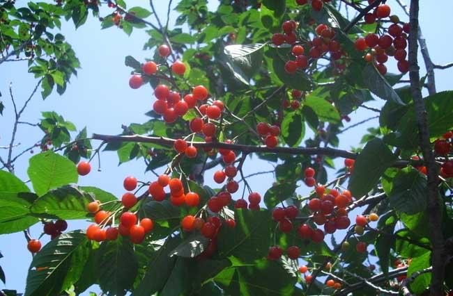 樱桃的功效与作用及食用禁忌