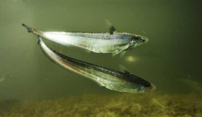 长江刀鱼图片