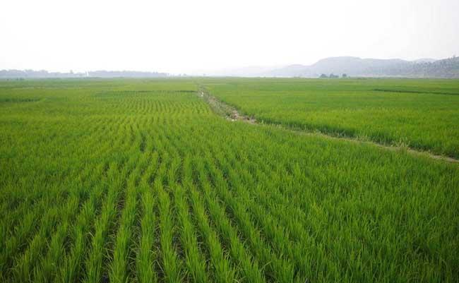 稻田泥鳅养殖技术
