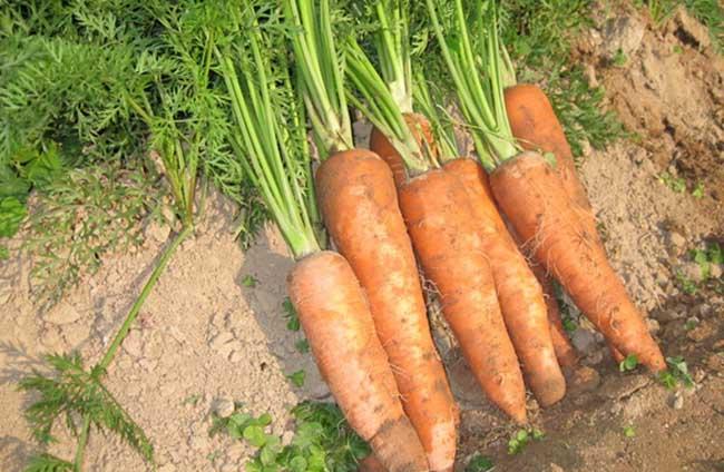 胡萝卜栽培技术