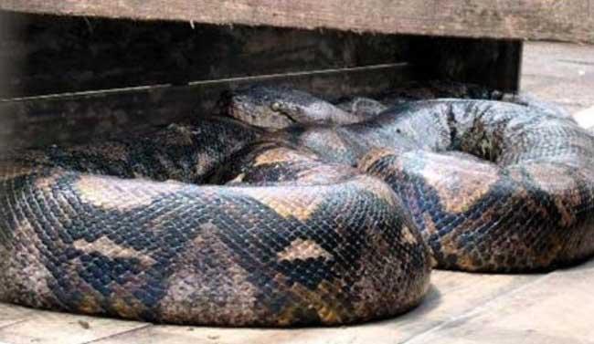 最大的蟒蛇