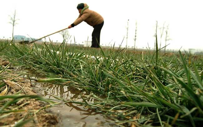 小麦春霜冻害的发生和补救