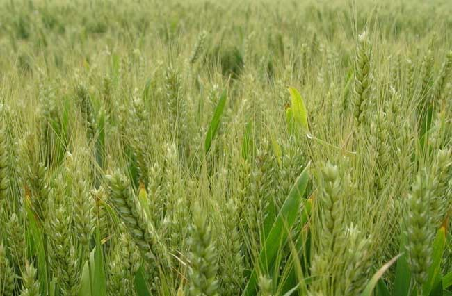 小麦病虫综合防治技术