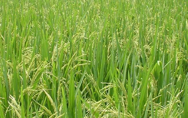 水稻生长后期栽培要点