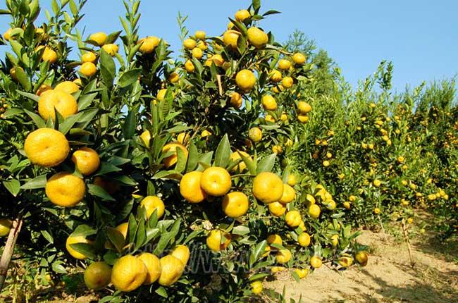 柑橘种植的受冻保树方法