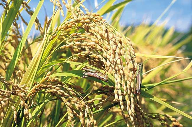 夏季怎样防治稻米中的害虫