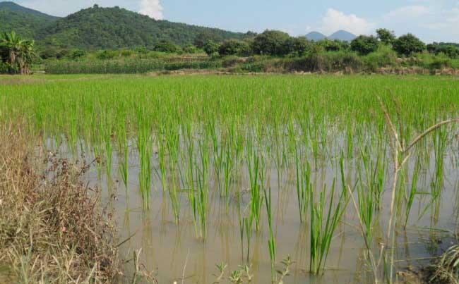 水稻种植生长后期的管理方法