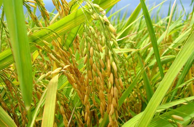 水稻叶尖枯病