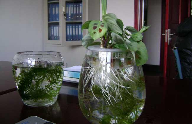 水培植物的养护技术