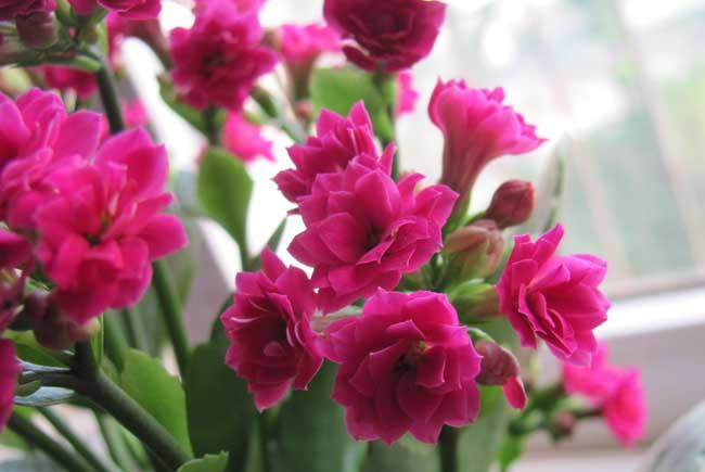长寿花有毒吗