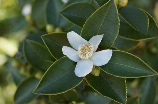 温度对茶叶品质有哪些影响