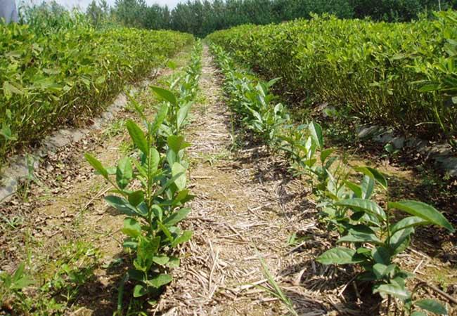 茶树栽植的茶籽直播和茶苗移栽技术