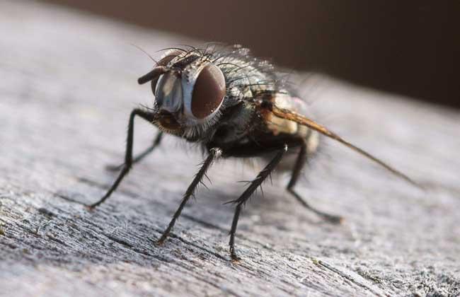 苍蝇养殖技术