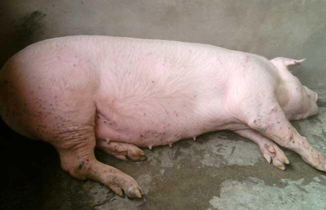 仔猪水肿病