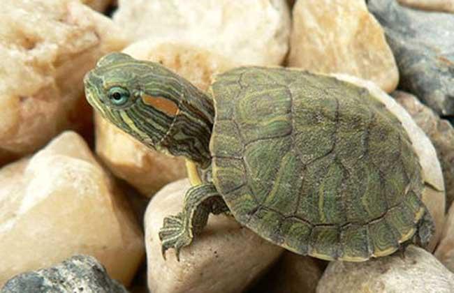巴西龟寿命