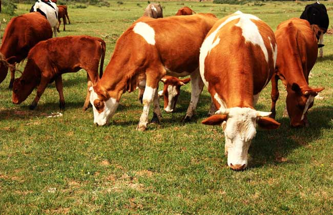 牛健康养殖
