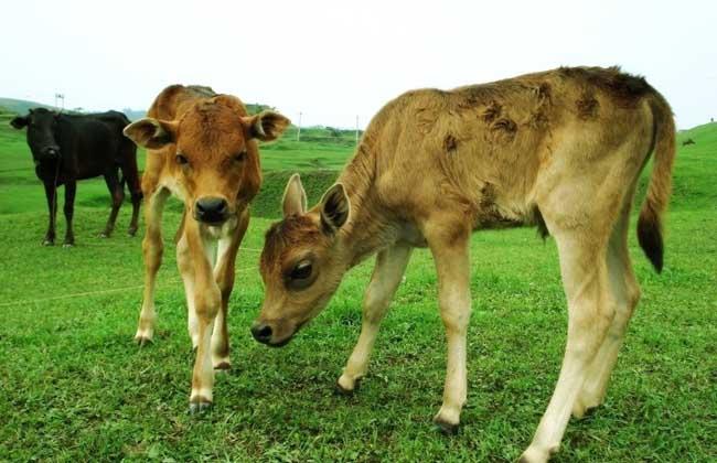 养殖户养牛的前期准备工作