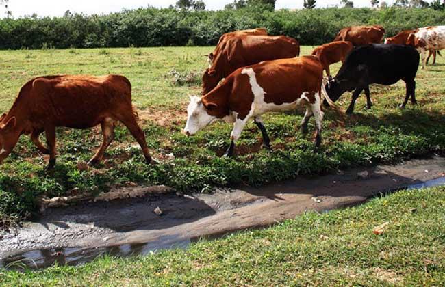 肉牛养殖前景