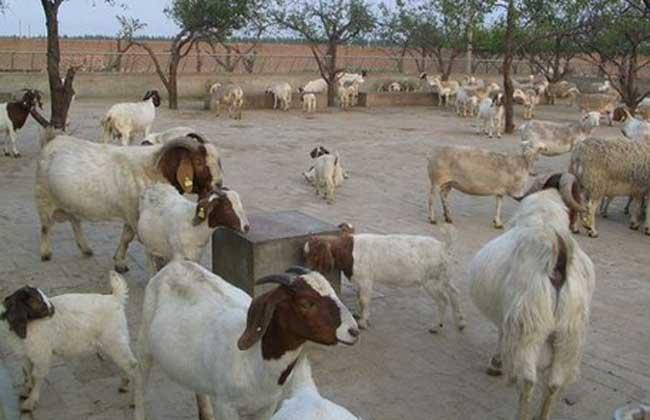 绵羊饲养管理技术