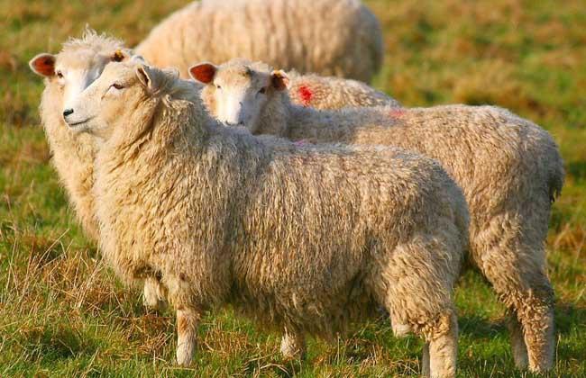 绵羊养殖技术