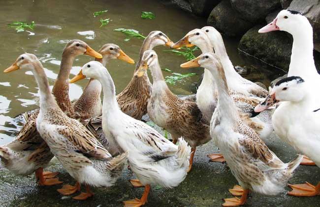 鸭子爱吃的野生植物饲料有哪些