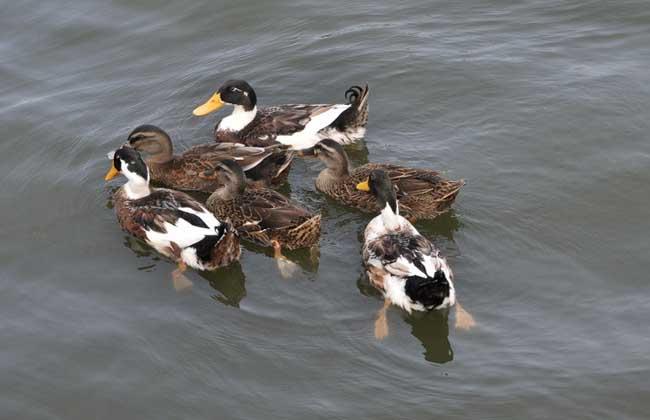 养鸭成本组成和控制措施